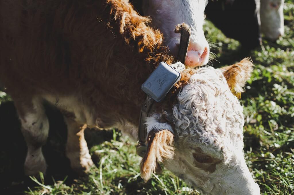 GPS Ortungsgerät statt traditioneller Kuhglocke